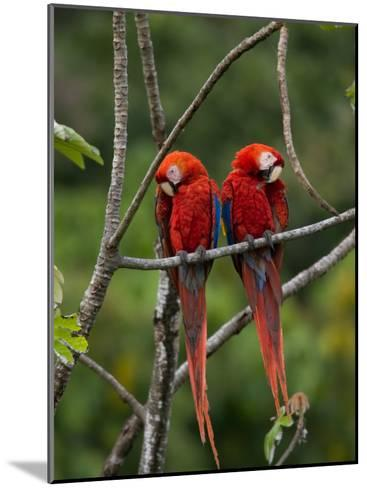 Pair of Scarlet Macaws (Ara Macao) Perched Side by Side on Branch-Roy Toft-Mounted Photographic Print