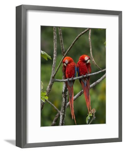 Pair of Scarlet Macaws (Ara Macao) Perched Side by Side on Branch-Roy Toft-Framed Art Print