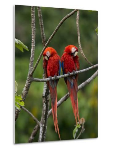 Pair of Scarlet Macaws (Ara Macao) Perched Side by Side on Branch-Roy Toft-Metal Print