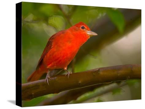 Summer Tanager (Piranga Rubra) Perched on Branch in Forest-Roy Toft-Stretched Canvas Print