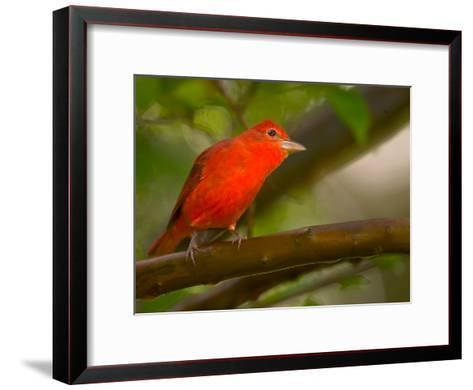 Summer Tanager (Piranga Rubra) Perched on Branch in Forest-Roy Toft-Framed Art Print
