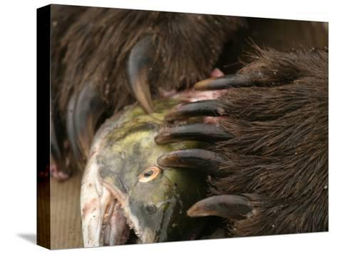 Close-up Alaskan Brown Bear (Ursus Arctos) Claws with Salmon-Roy Toft-Stretched Canvas Print