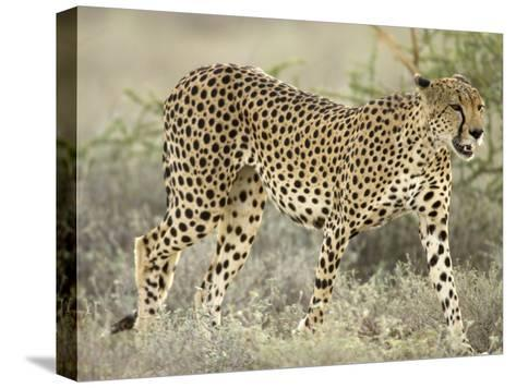 Close View of a Cheetah Walking Through a Field (Acinonyx Jubatus)-Roy Toft-Stretched Canvas Print