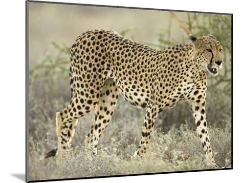 Close View of a Cheetah Walking Through a Field (Acinonyx Jubatus)-Roy Toft-Mounted Photographic Print