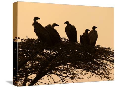 Silhouetted Vultures in an Acacia Tree at Sunset-Roy Toft-Stretched Canvas Print