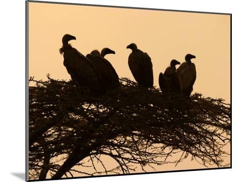 Silhouetted Vultures in an Acacia Tree at Sunset-Roy Toft-Mounted Photographic Print