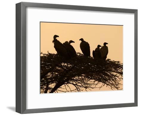 Silhouetted Vultures in an Acacia Tree at Sunset-Roy Toft-Framed Art Print