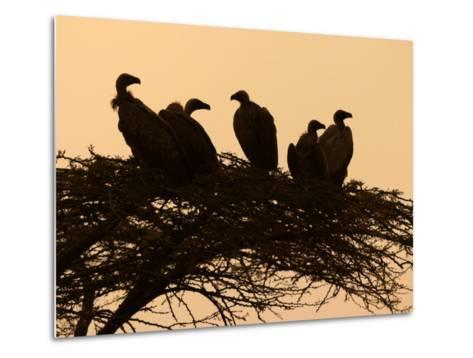 Silhouetted Vultures in an Acacia Tree at Sunset-Roy Toft-Metal Print