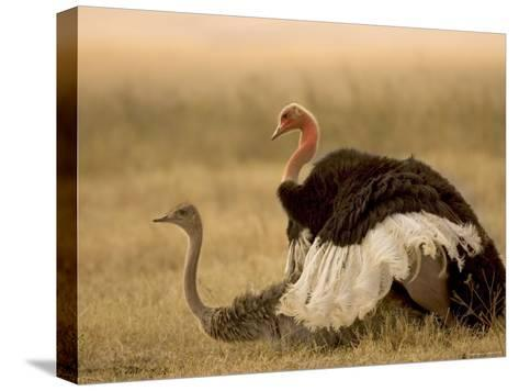 A Pair of Ostriches Mating (Struthio Camelus)-Roy Toft-Stretched Canvas Print