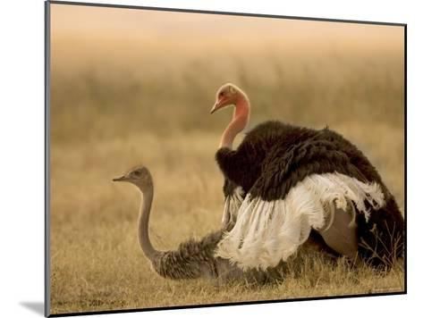 A Pair of Ostriches Mating (Struthio Camelus)-Roy Toft-Mounted Photographic Print