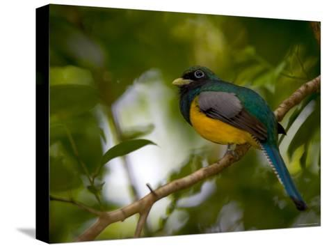 A Male Black-Throated Trogon Perched on a Branch in a Forest. Trogon Rufus-Roy Toft-Stretched Canvas Print