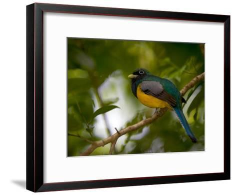 A Male Black-Throated Trogon Perched on a Branch in a Forest. Trogon Rufus-Roy Toft-Framed Art Print