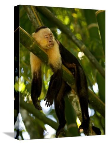 A White-Throated Capuchin Monkey Sleeping on a Bamboo Stalk (Cebus Capucinus)-Roy Toft-Stretched Canvas Print