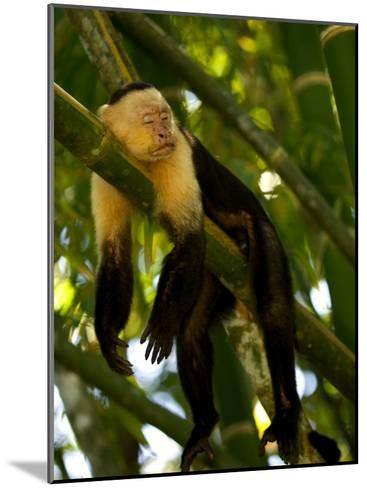A White-Throated Capuchin Monkey Sleeping on a Bamboo Stalk (Cebus Capucinus)-Roy Toft-Mounted Photographic Print