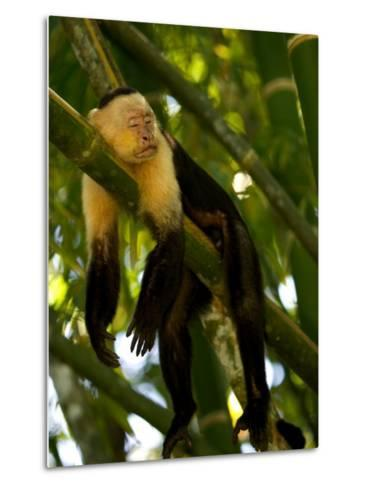 A White-Throated Capuchin Monkey Sleeping on a Bamboo Stalk (Cebus Capucinus)-Roy Toft-Metal Print