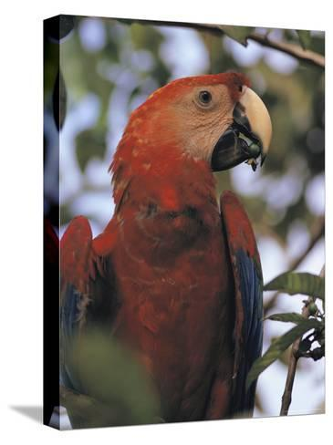 Macaw Parrot, Peru--Stretched Canvas Print