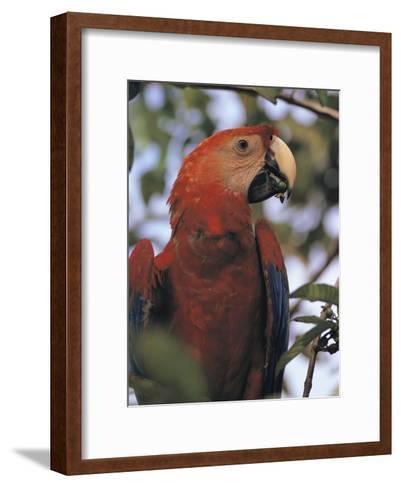 Macaw Parrot, Peru--Framed Art Print