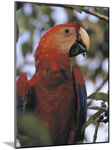 Macaw Parrot, Peru--Mounted Photographic Print