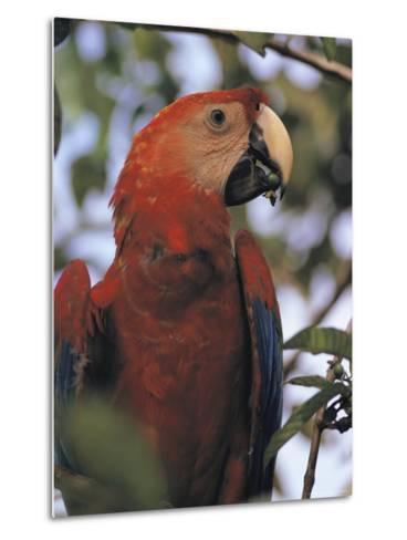 Macaw Parrot, Peru--Metal Print