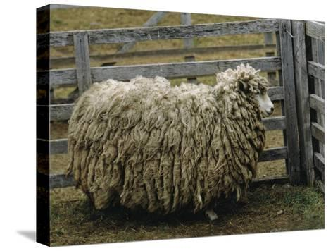 Sheep Covered in Wool, Harberton, Argentina-James L^ Stanfield-Stretched Canvas Print
