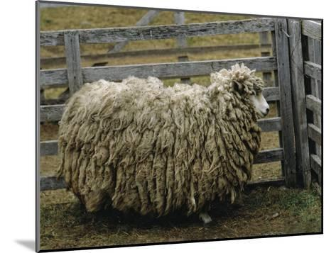 Sheep Covered in Wool, Harberton, Argentina-James L^ Stanfield-Mounted Photographic Print