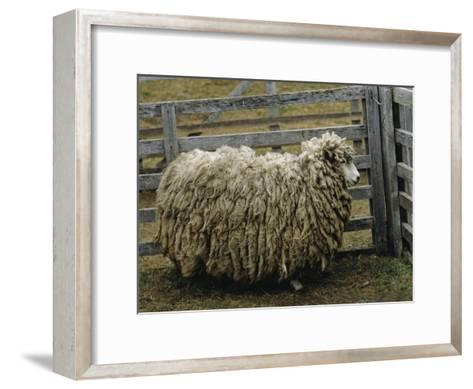 Sheep Covered in Wool, Harberton, Argentina-James L^ Stanfield-Framed Art Print