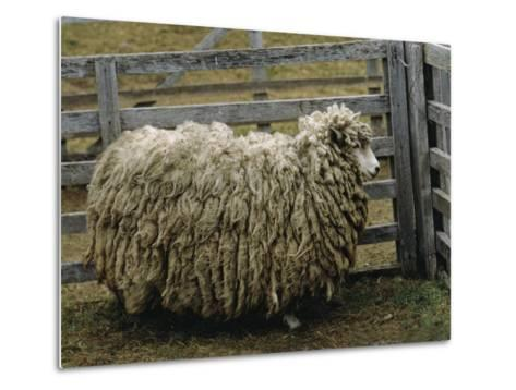Sheep Covered in Wool, Harberton, Argentina-James L^ Stanfield-Metal Print