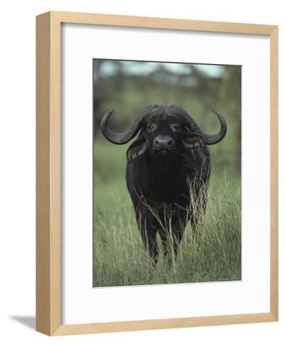 Yellow-Billed Oxpeckers Perched on the Back of a Cape Buffalo, Kidepo Valley National Park, Uganda-George F^ Mobley-Framed Art Print