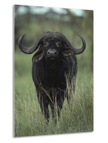 Yellow-Billed Oxpeckers Perched on the Back of a Cape Buffalo, Kidepo Valley National Park, Uganda-George F^ Mobley-Metal Print