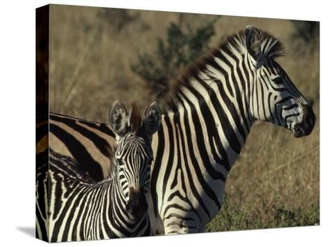 Portrait of a Plains Zebra and Her Foal, Wankie National Park, Zimbabwe-James L^ Stanfield-Stretched Canvas Print
