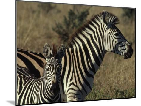 Portrait of a Plains Zebra and Her Foal, Wankie National Park, Zimbabwe-James L^ Stanfield-Mounted Photographic Print