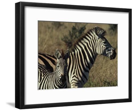 Portrait of a Plains Zebra and Her Foal, Wankie National Park, Zimbabwe-James L^ Stanfield-Framed Art Print