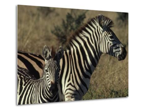 Portrait of a Plains Zebra and Her Foal, Wankie National Park, Zimbabwe-James L^ Stanfield-Metal Print