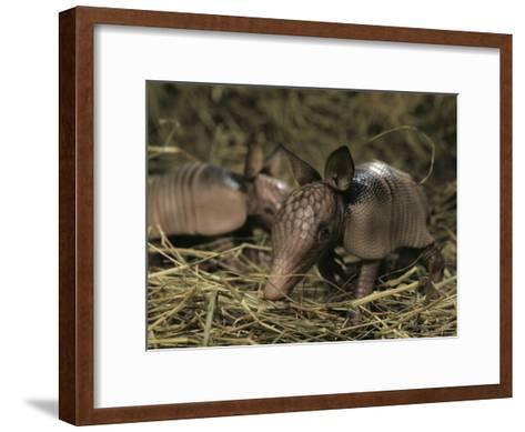 Pair of Juvenile Nine-Banded Armadillos, Melbourne, Florida-Bianca Lavies-Framed Art Print