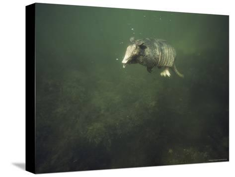 Nine-Banded Armadillo Swimming Underwater, Melbourne, Florida-Bianca Lavies-Stretched Canvas Print