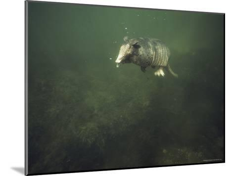 Nine-Banded Armadillo Swimming Underwater, Melbourne, Florida-Bianca Lavies-Mounted Photographic Print