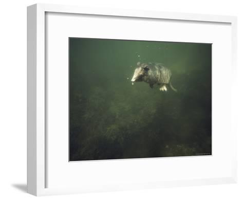 Nine-Banded Armadillo Swimming Underwater, Melbourne, Florida-Bianca Lavies-Framed Art Print