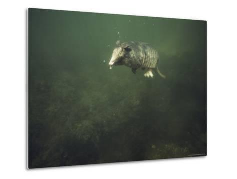 Nine-Banded Armadillo Swimming Underwater, Melbourne, Florida-Bianca Lavies-Metal Print