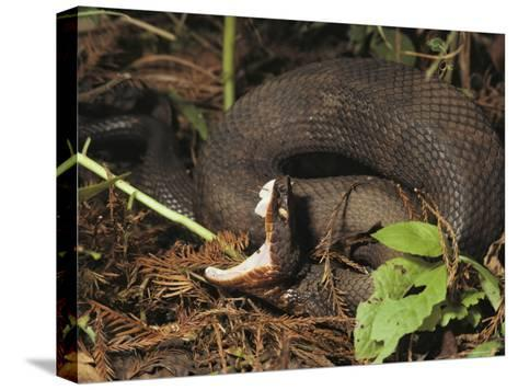 Close-Up of a Cottonmouth, Atchafalaya National Wildlife Refuge, Louisiana--Stretched Canvas Print