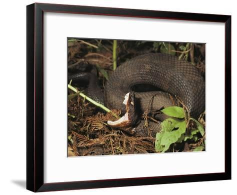 Close-Up of a Cottonmouth, Atchafalaya National Wildlife Refuge, Louisiana--Framed Art Print