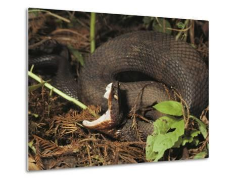 Close-Up of a Cottonmouth, Atchafalaya National Wildlife Refuge, Louisiana--Metal Print