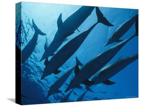 School of Spotted Dolphins, Bahama Islands-Nick Caloyianis-Stretched Canvas Print