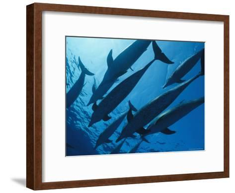 School of Spotted Dolphins, Bahama Islands-Nick Caloyianis-Framed Art Print