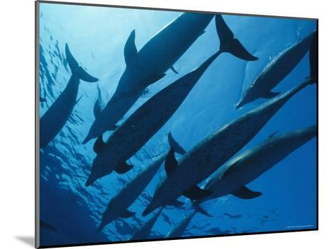 School of Spotted Dolphins, Bahama Islands-Nick Caloyianis-Mounted Photographic Print