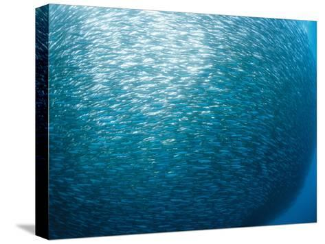 Huge School of Anchovies Photographed off the Coast of Argentina-Nick Caloyianis-Stretched Canvas Print
