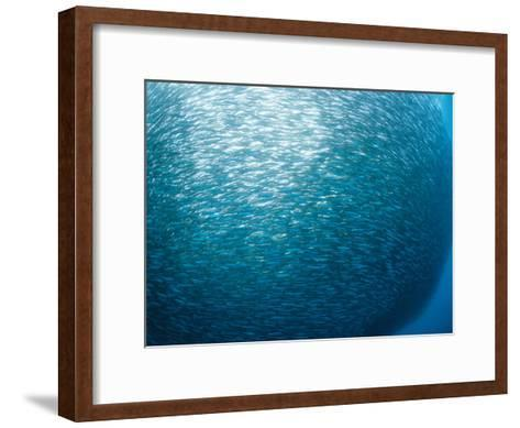 Huge School of Anchovies Photographed off the Coast of Argentina-Nick Caloyianis-Framed Art Print
