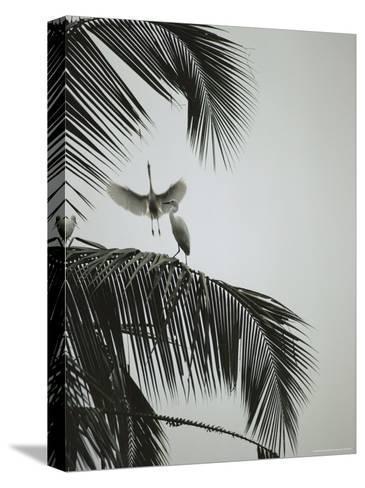 Egrets in a Palm Tree, Bali, Indonesia-Michael Nichols-Stretched Canvas Print