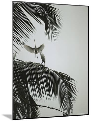 Egrets in a Palm Tree, Bali, Indonesia-Michael Nichols-Mounted Photographic Print