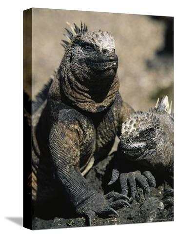 Marine Iguanas, Galapagos Islands-Steve Winter-Stretched Canvas Print