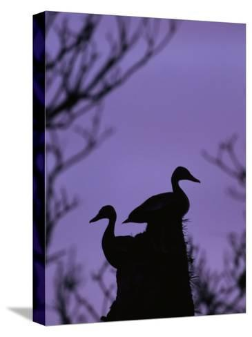 Pair of Wild Ducks in Silhouette, Costa Rica-Steve Winter-Stretched Canvas Print